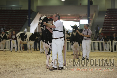 New York Spring Holstein Cow15
