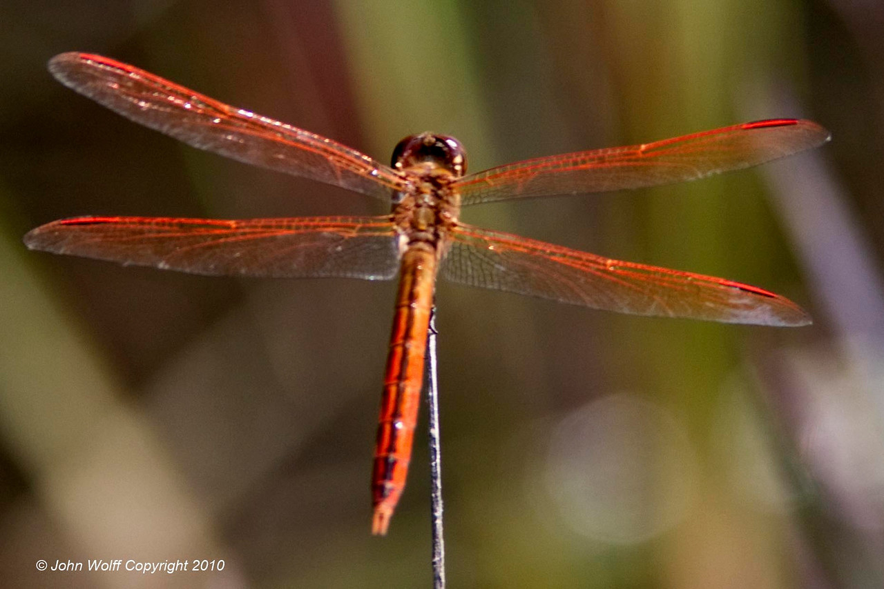 Gold-winged Skimmer