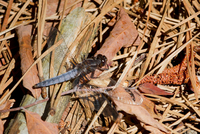 Blue Corporal