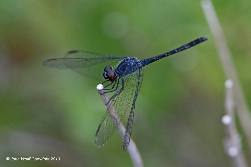 Seaside Dragonlet male