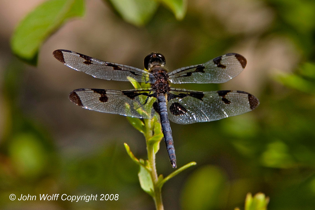 <b>Banded Pennant at Cranberry Lake</b>