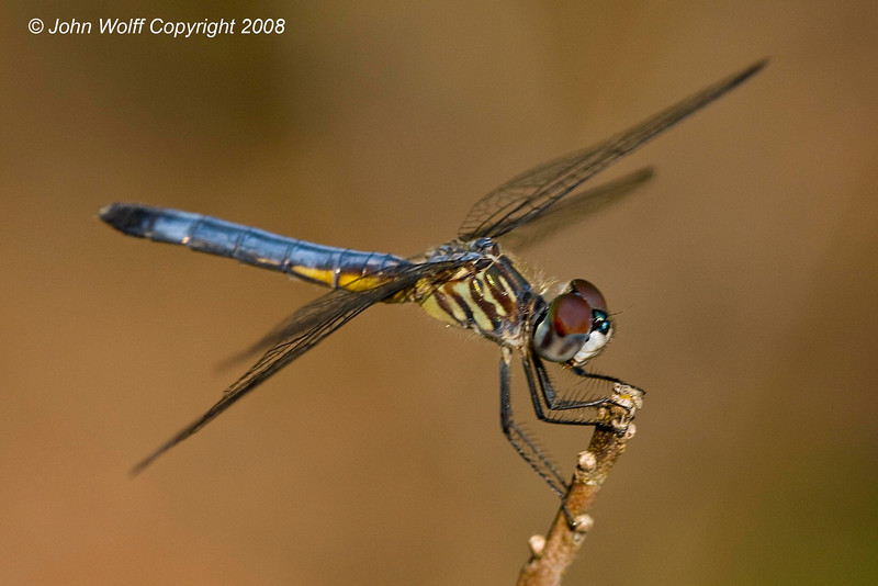 <b>Blue Dasher at Cranberry Lake</b>