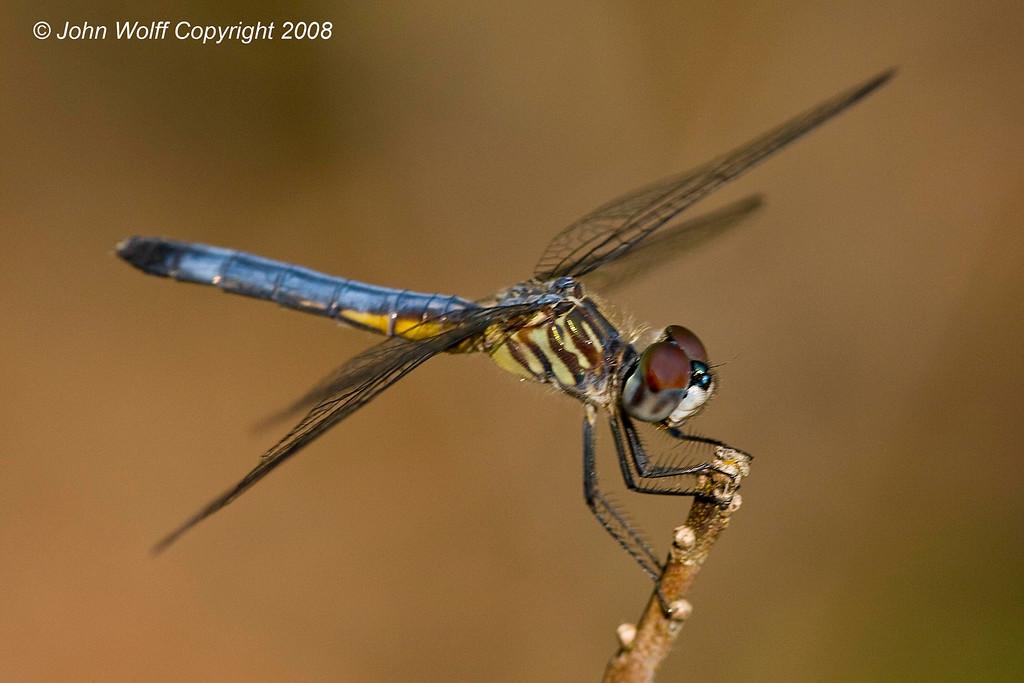 <b>Blue Dasher at Cranberry Lake</b>
