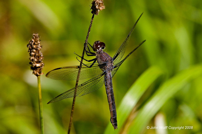 <b>Bar-winged Skimmer Westchester; Dragonflies; Teatown Lake;</b>
