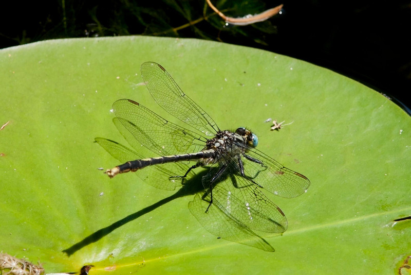Lillypad Clubtail