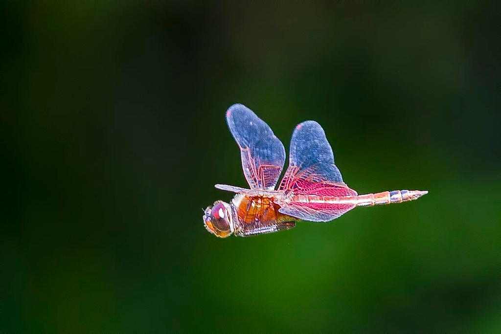 Carolina Saddlebag in flight at Mtn Lakes Park