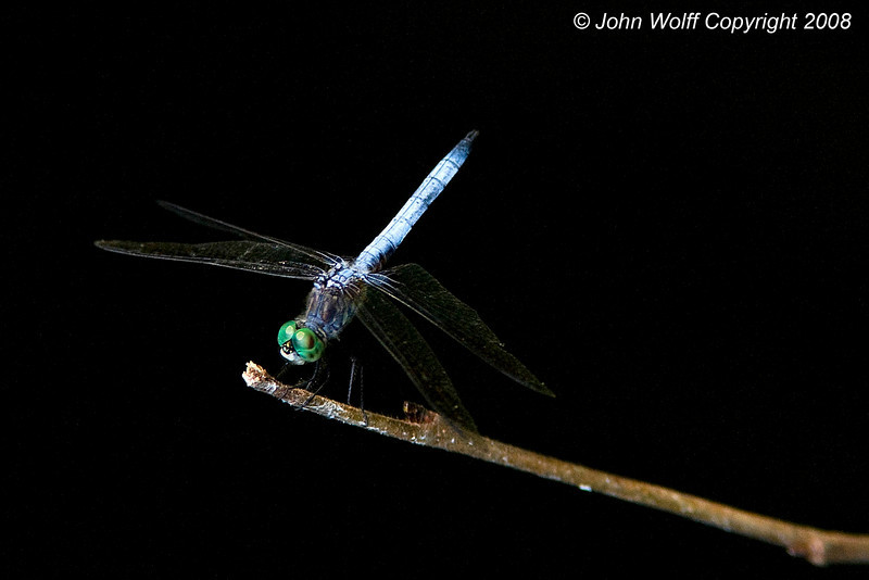 <b>Blue Dasher at Teatown Lake</b>