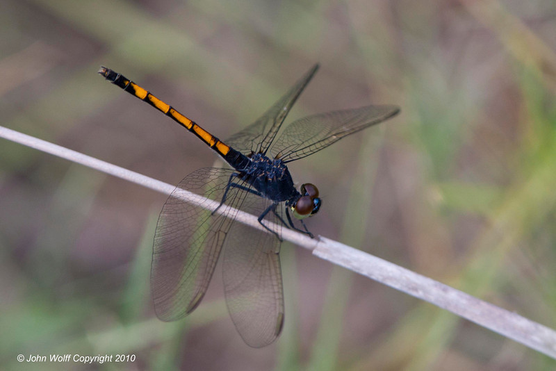 Seaside Dragonlet female