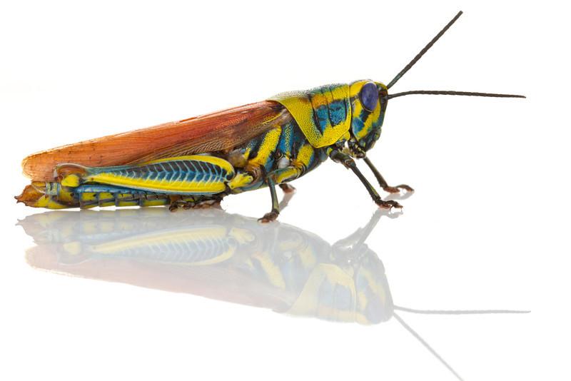 Colorful, toxic grasshopper (Eupropacris sp.) from Mozambique.