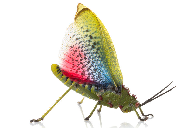 Toxic grasshopper (Phymateus viridipes) displaying its warning coloration.