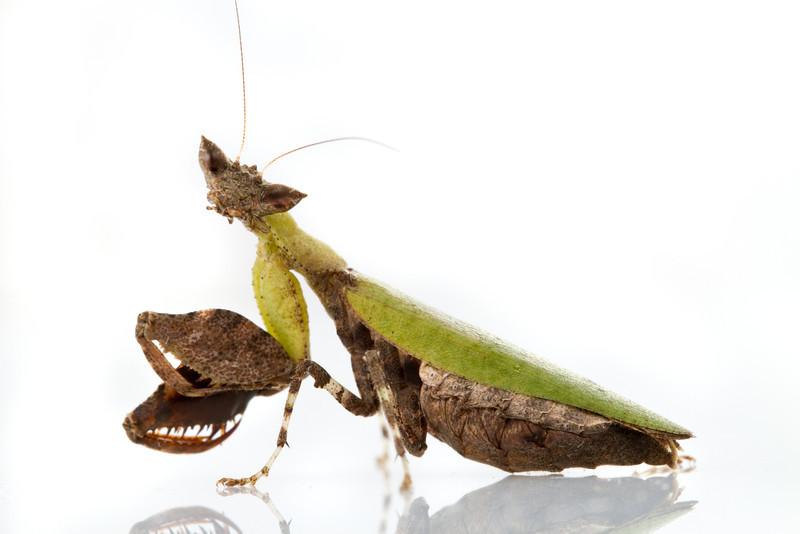 Arboreal praying mantis (Otomantis scutigera) from Mozambique.
