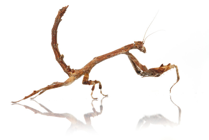 Stick praying mantis Popa sp. from Mozambique.