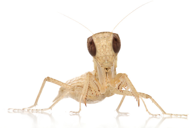 Hunter mantis Galepsus sp. from Mozambique.