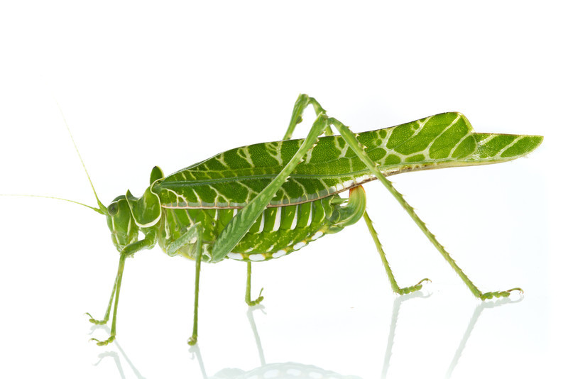 Acacia katydid (Terpnistria zebrata) from Mozambique.