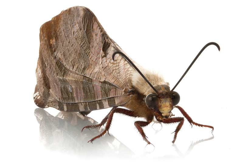 Giant antlion (Palpares sp.) from Mozambique.