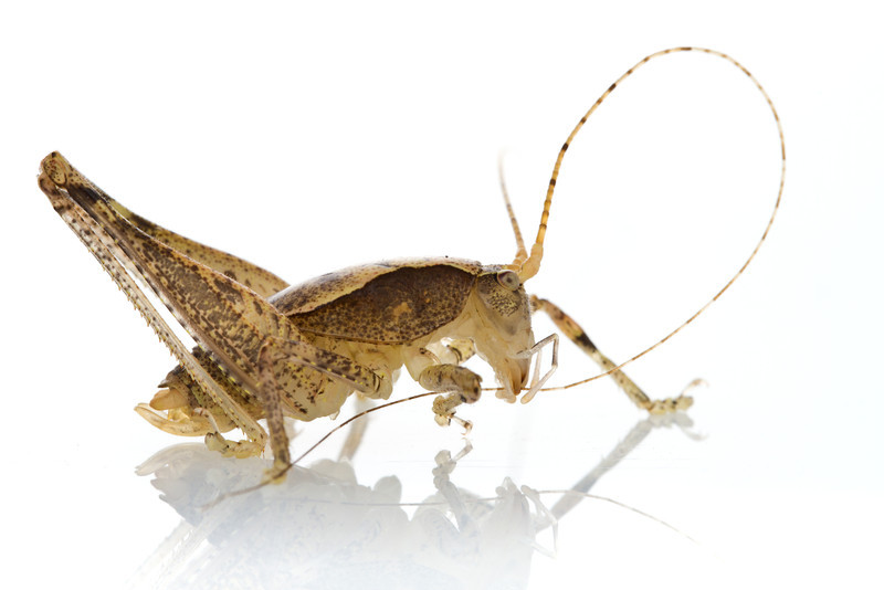 A newly discovered, yet unnamed katydid from Mt. Gorongosa, Mozambique.