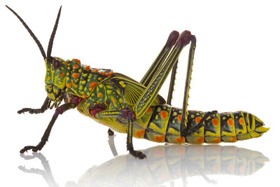 Toxic grasshopper (Phymateus viridipes) shows a striking warning coloration.