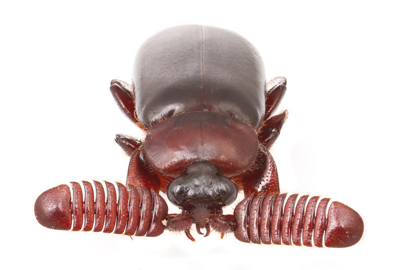Bombardier beetle (Paussinae) from Mozambique.