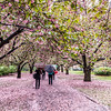Cherry Blossoms at Brooklyn Botanic Garden