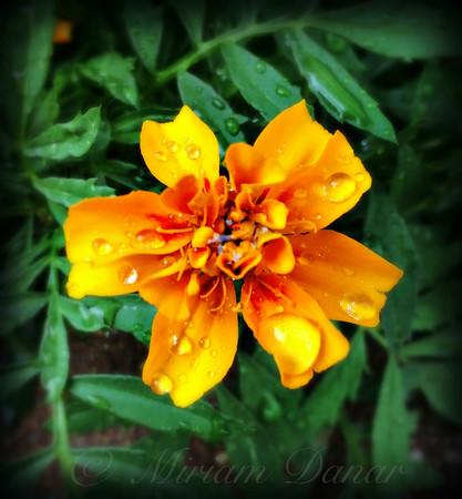 Orange Beauty in the Rain - Flower Photography