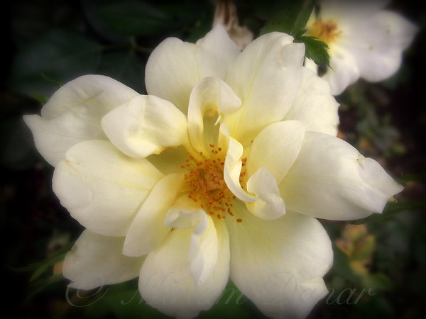 Old-fashioned Yellow Popcorn Rose - Flower Photography