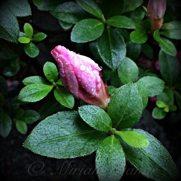 Awakening - Flower Bud in the Rain