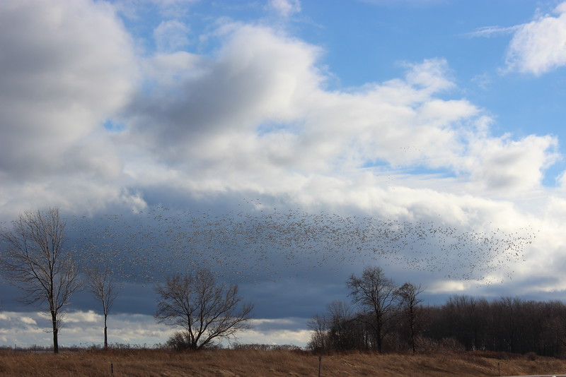 Snow Geese in the Finger Lakes
