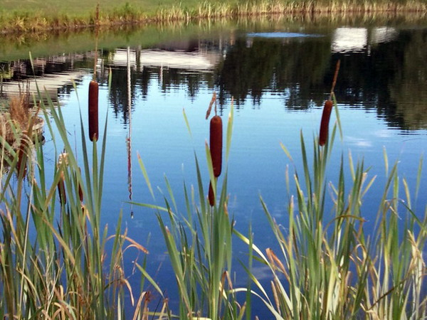 Cattails in a Pond