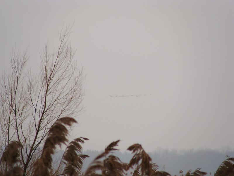 Canada Geese Overhead