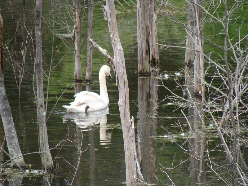 Swan in a Wetland