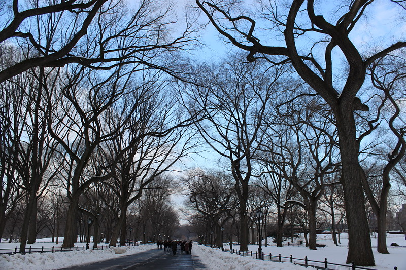 American Elm Trees Line The Mall