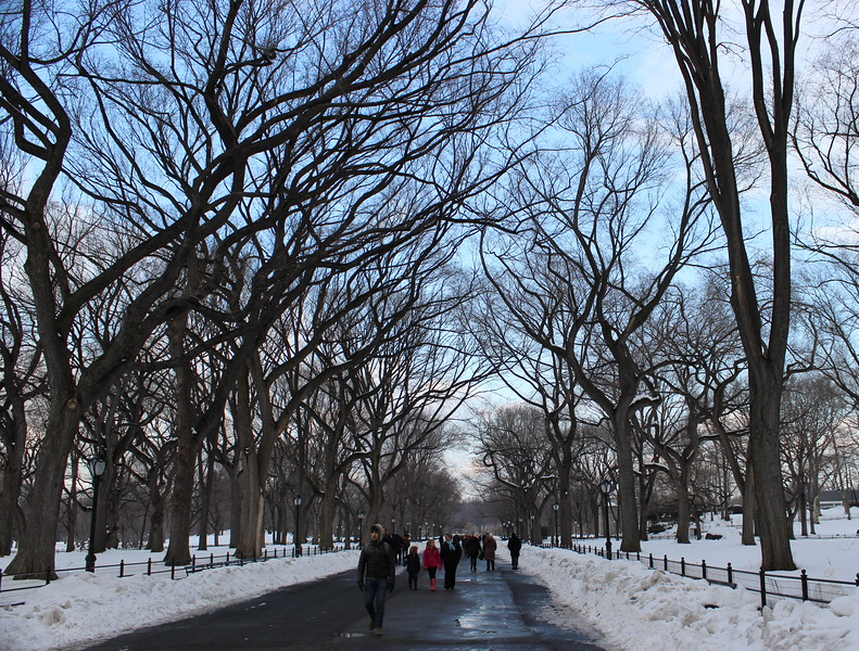 American Elm Trees Line The Mall in Central Park
