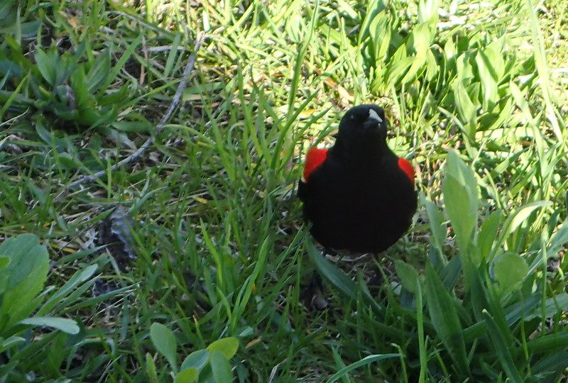 Red-winged Blackbird in the Grass