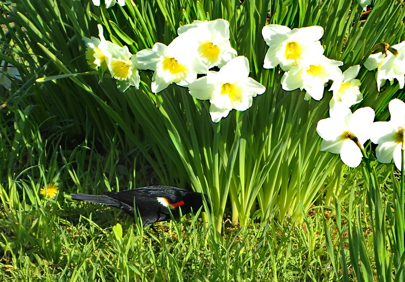 Red-winged Blackbird Amid Narcissus