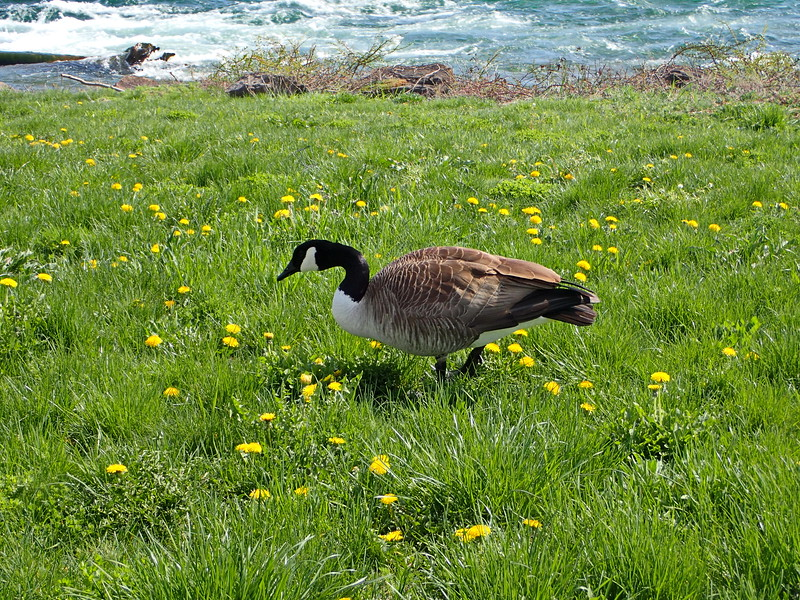 Canada Goose in the Grass