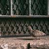 baby pigeon on sidewalk