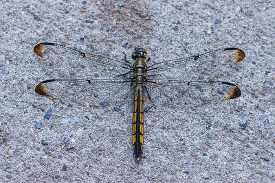 dragonfly on Greenwich Village sidewalk