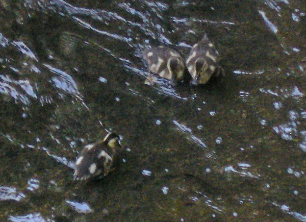 Ducklings in the Creek