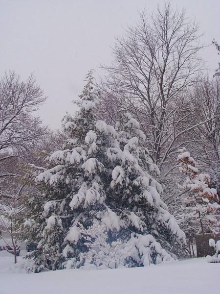 Hemlock in Winter