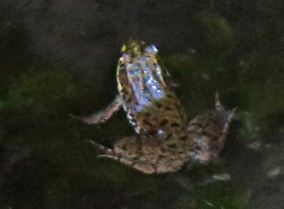 Frog in the Creek