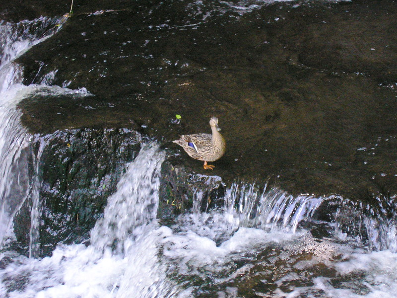 Duck in the Waterfall