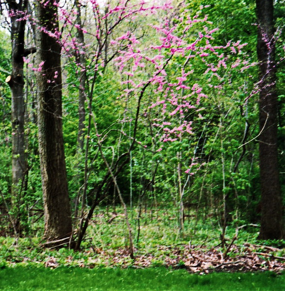 Persimmon Tree in Persimmon Park