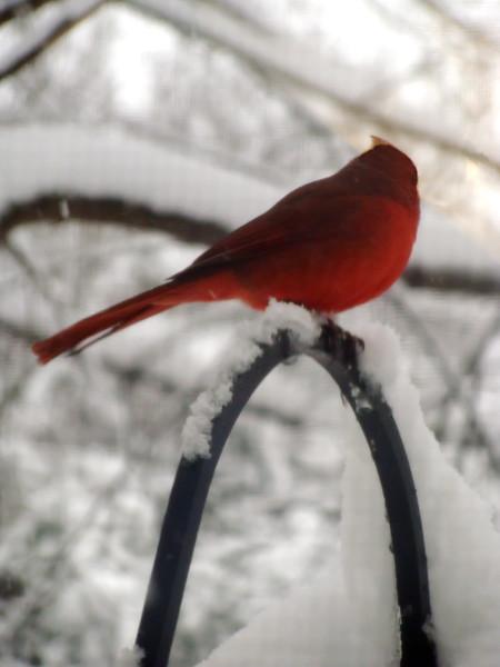 Cardinal Wintering in Brighton