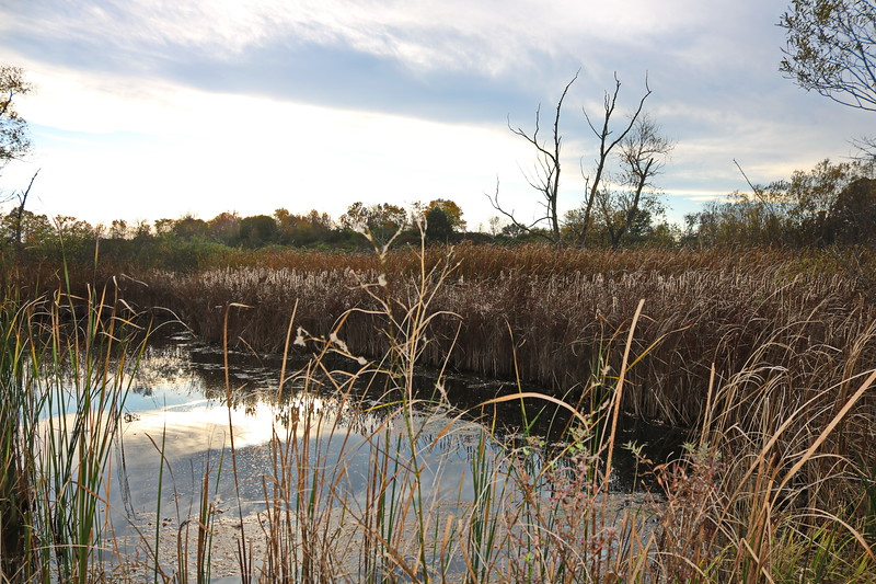 Cattails and Wetland Grasses