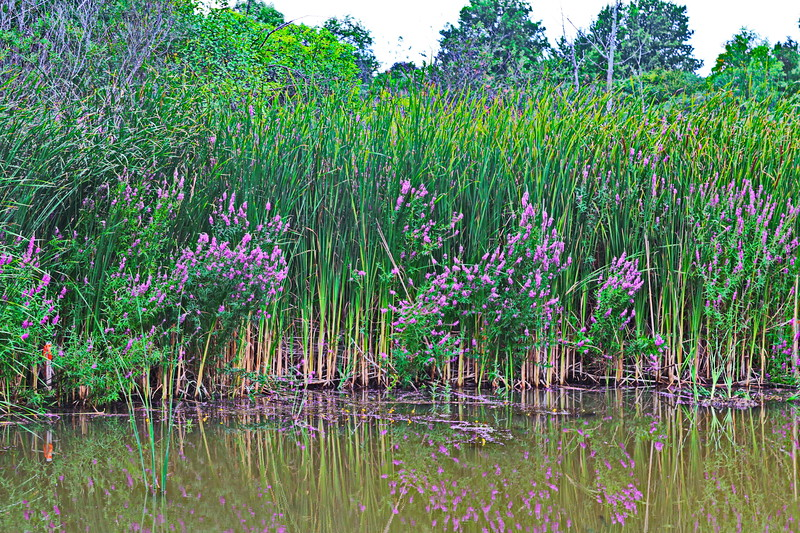 Loosestrife in the Wetland