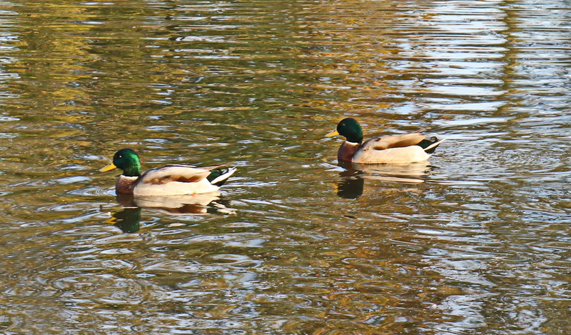 Mallard Ducks in the Pond