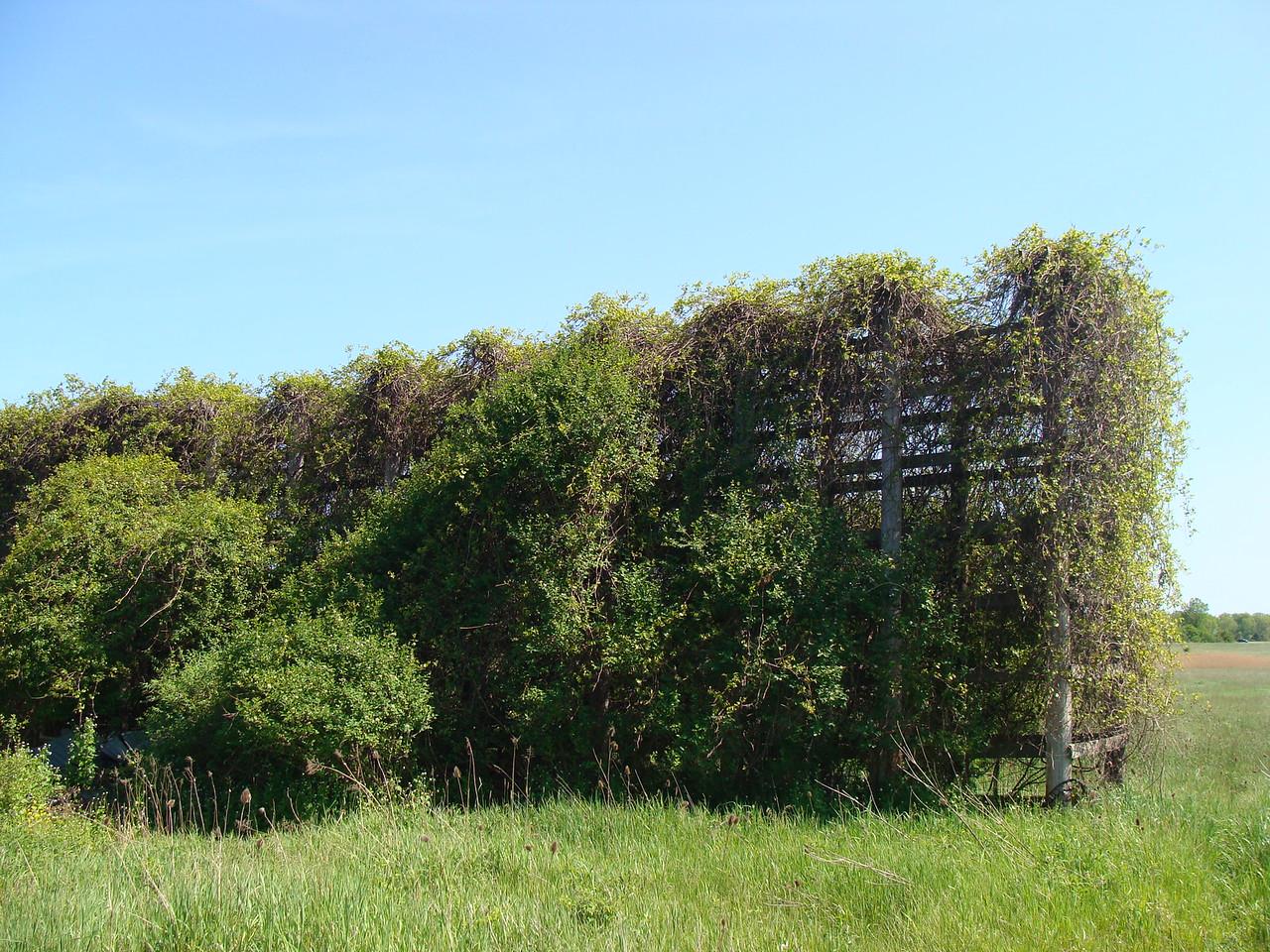 Old Farm Grape Arbor