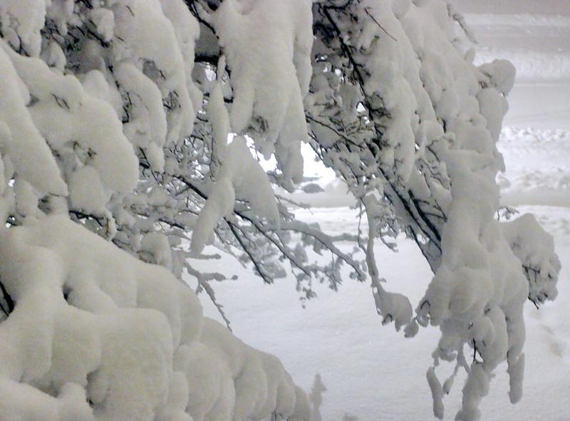 Snow on the Hawthorne Tree