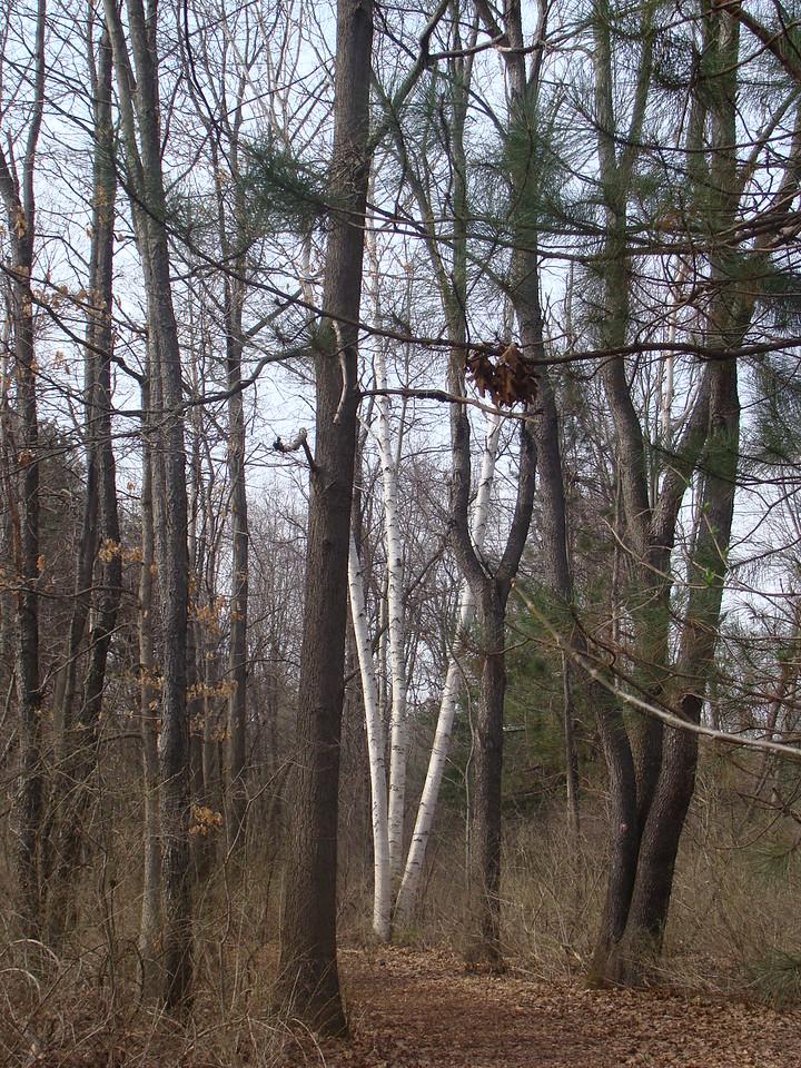 White Birdh Trees