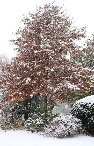 Red Maple in Winter